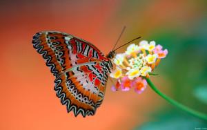 Sfondo-HD-farfalla