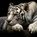 Sfondo 3D tigre