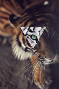 Sfondo retina iphone tigre
