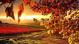 Sfondi HD autunno filari vigneti