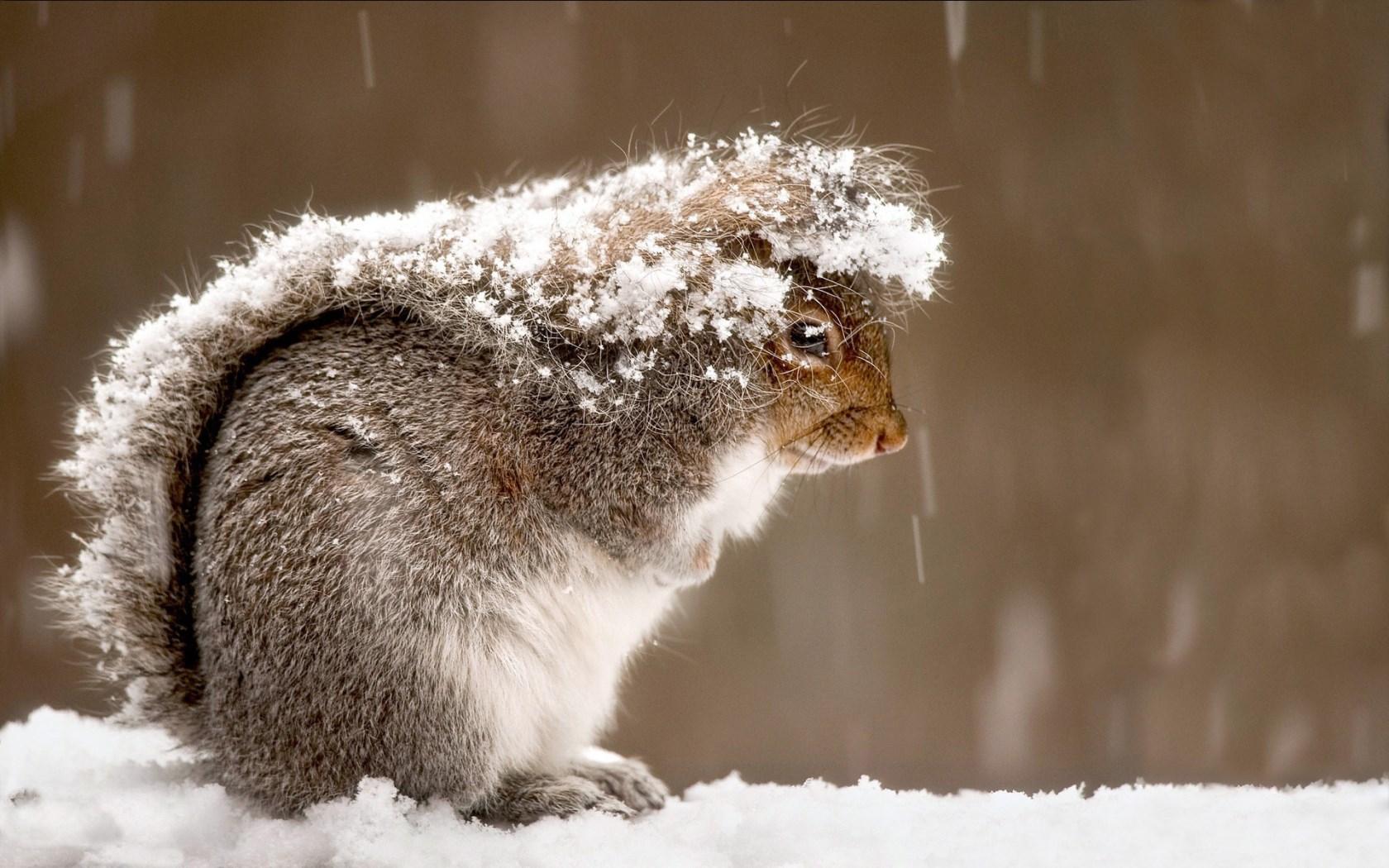 Sfondo Inverno Scoiattolo Tra La Neve Sfondi Hd Gratis
