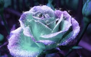 Wallpaper rosa blu bellissima