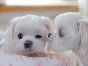 Sfondo cuccioli bianchi