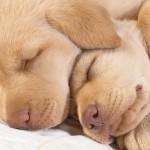 Sfondo cuccioli tenerissimi di cane