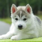Sfondo cucciolo Husky