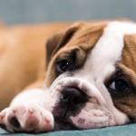 Sfondo cucciolo bulldog