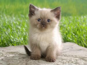 Sfondo cucciolo di gatto gattino