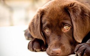 Sfondo cucciolo labrador