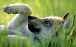 Sfondo cucciolo lupo