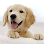 Sfondo golden retriever cucciolo