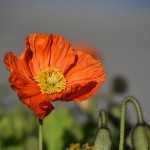 Sfondi fiore papavero HD