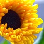 Sfondo HD fiore girasole