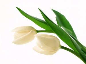 Sfondo-HD-tulipani-bianchi