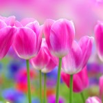 Sfondo HD tulipani rosa