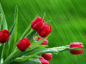 Sfondo-HD-tulipani-rossi