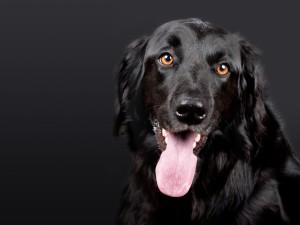 Sfondo cane nero con fondo nero HD