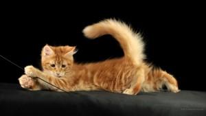 Sfondo gatto rosso che gioca HD