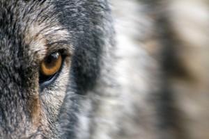 Sfondo occhio di lupo cecoslovacchio